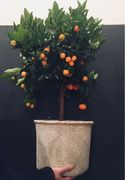 Citrofortunella calamondin (Citrus x Kumquat)